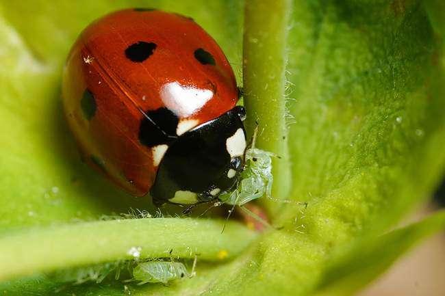 Кто ест тлю Биологические методы борьбы с тлей