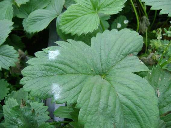 Мучнистая роса на листьях клубники садовой