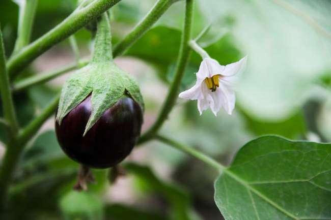Первые плоды на баклажанах