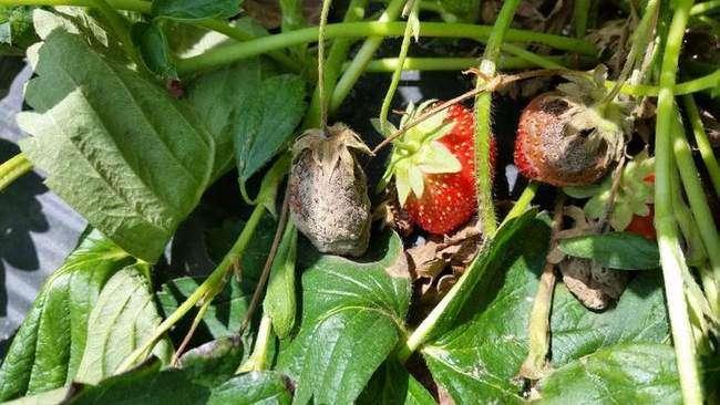 Плоды клубники зараженные серой гнилью