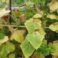 Почему листья огурцов желтеют и сохнут, что делать
