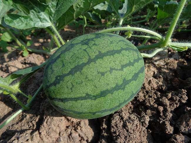 Условия выращивания арбузов