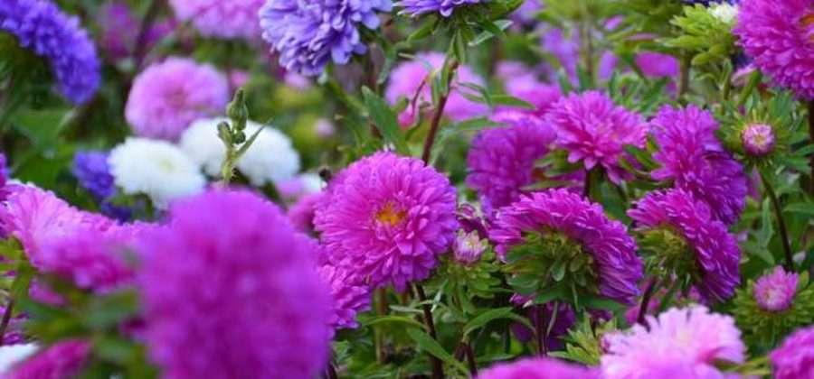 Посадка Астр и уход за цветами в открытом грунте