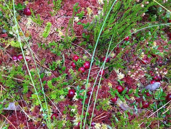 Посадка клюквы на садовом участке