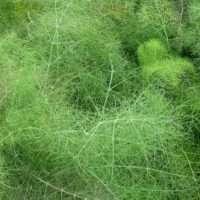 Как подготовить семена укропа и правильно их посадить на огороде