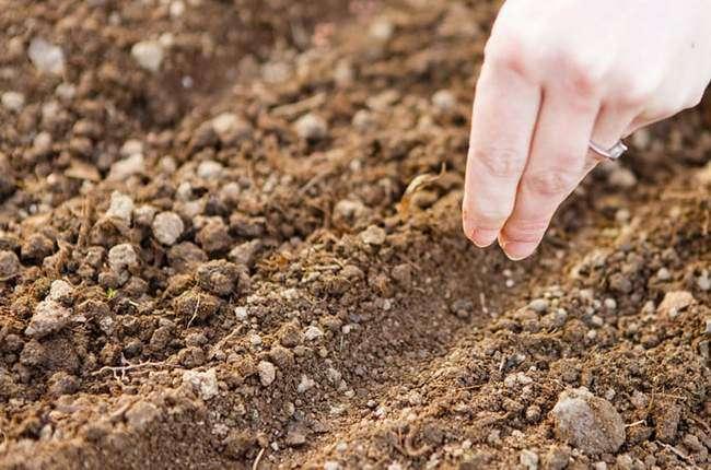 Посев семян Астр в открытый грунт