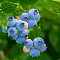 Выращиваем Голубику на дачном участке в открытом грунте
