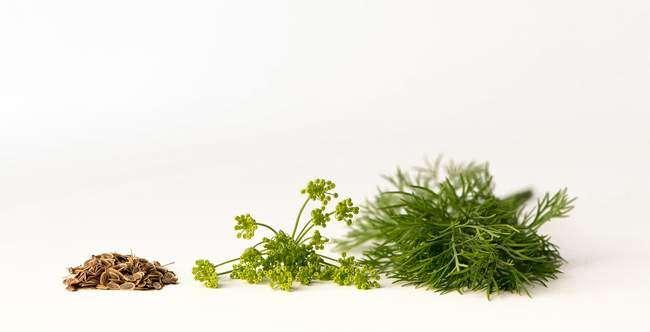 Семена укропа содержат масла затрудняющие проростание