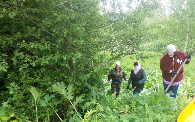 Скашивание борщевика не самый лучший метод борьбы с сорняком