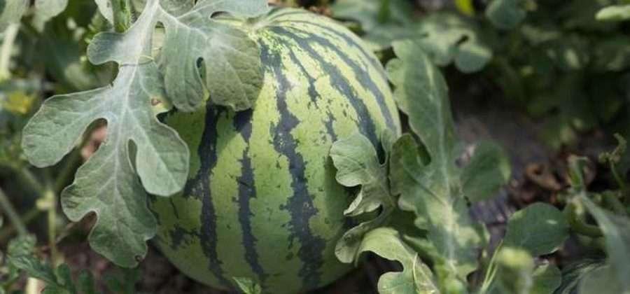 Выращиваем арбуз в открытом грунте – Как ухаживать за арбузом, чтобы получить урожай