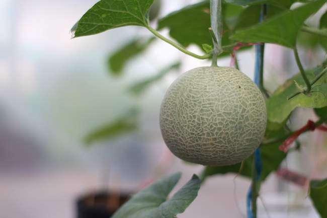 Выращивание дыни в теплице вертикально