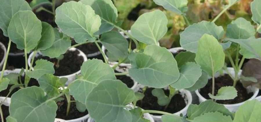 Что нужно сделать, чтобы получить устойчивую к болезням и заморозкам рассаду капусты