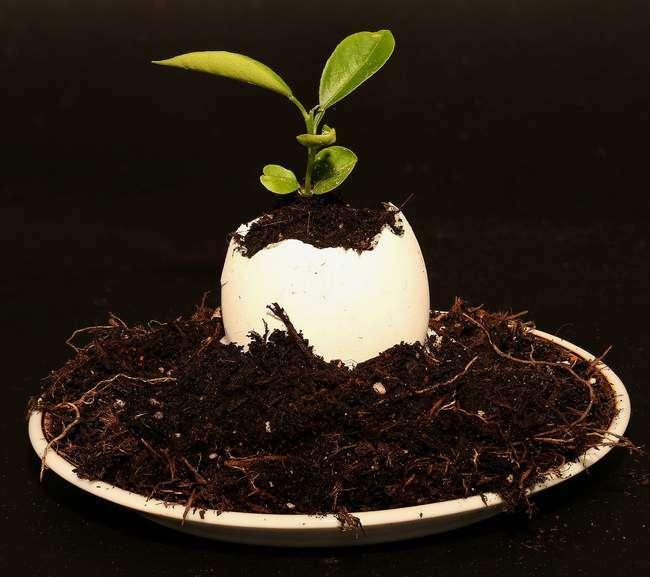 Использование скорлупы в качестве удобрения для картофеля