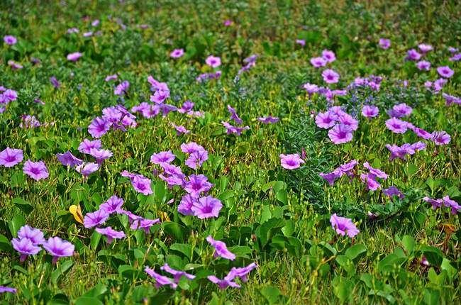 Как выглядят цветы Ипомеи