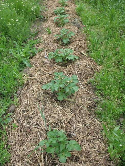 Картошка без окучивания землей