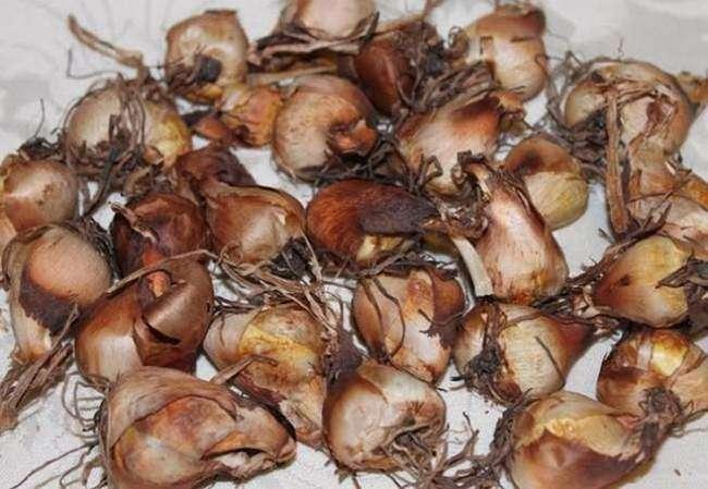 Луковицы Тигридии