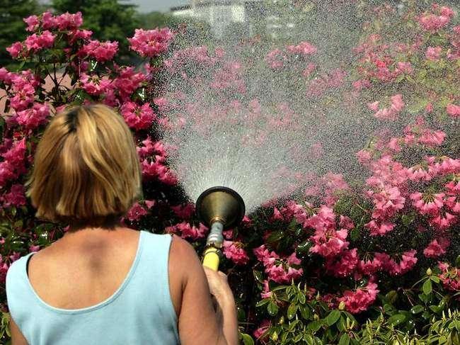 Опрыскивание Рододендрона водой