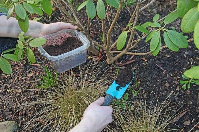Подкормка Рододендрона органическими удобрениями весной