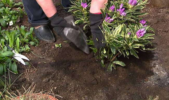 Посадка Рододендрона в открытый грунт
