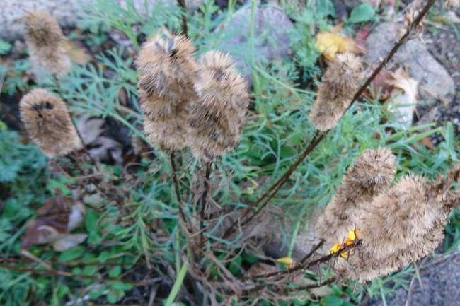 Семена на Лиатрисе