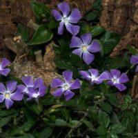 Выращивание Барвинка на даче: посадка, уход и размножение цветка