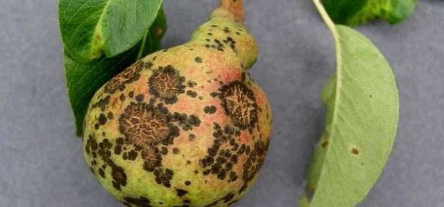 Описание болезней груши с фотографиями и способами лечения