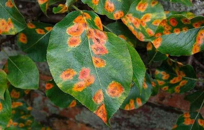 Болезни груши Ржавчина на листьях