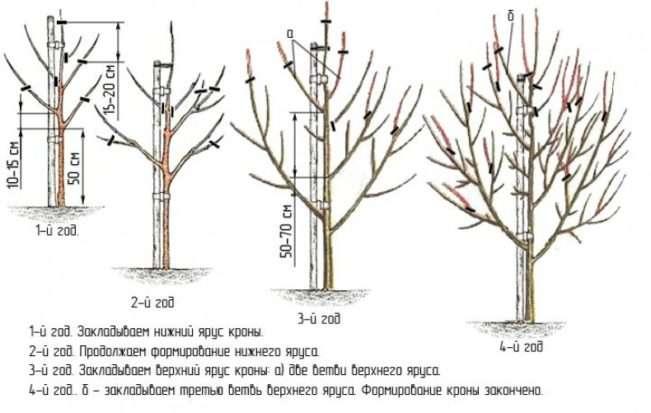 Формирование груши Августовская роса