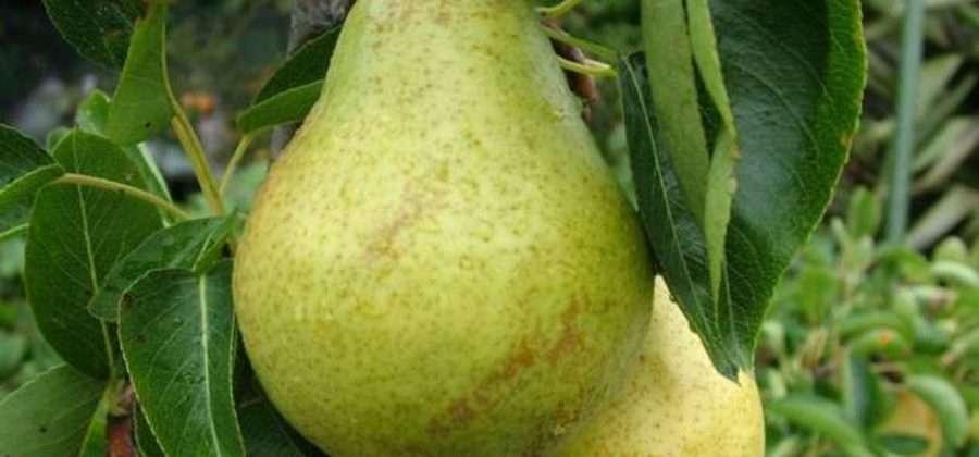 Выращиваем грушу сорта Дюшес летний у себя в саду