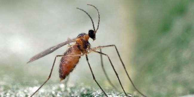 Грушевая Галлица выглядит как комар
