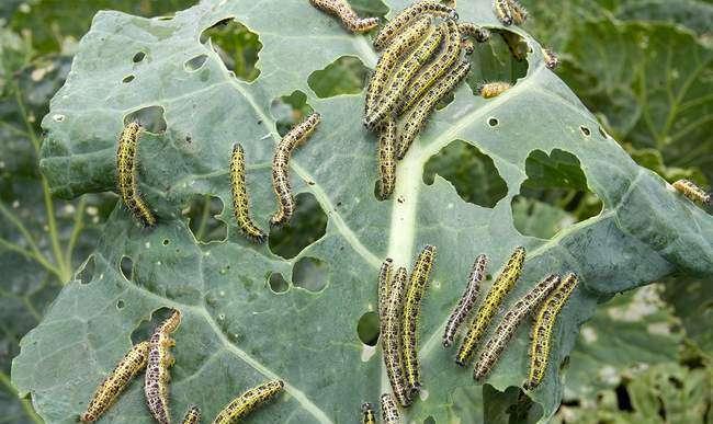 Гусеницы белянки на капусте