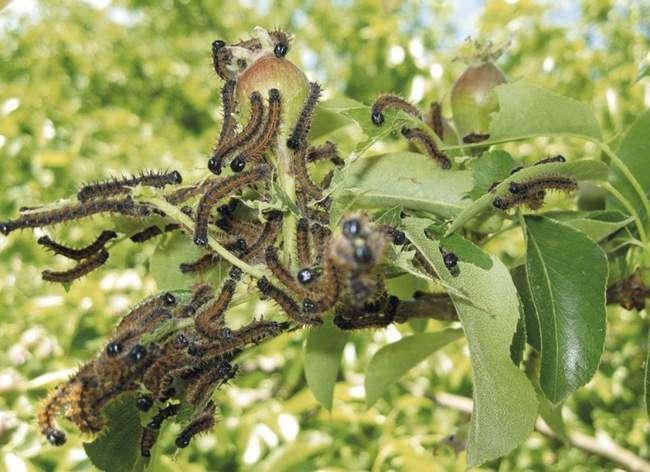 Гусеницы боярышницы не оставят шанс на хороший урожай