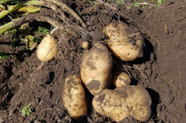 Как правильно подкормить картофель для увеличения урожая