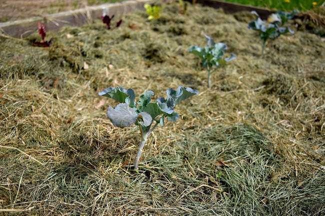 Как сажать брокколи