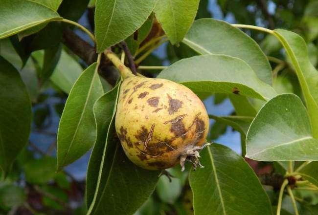 Парша на груше поражает и листья и плоды