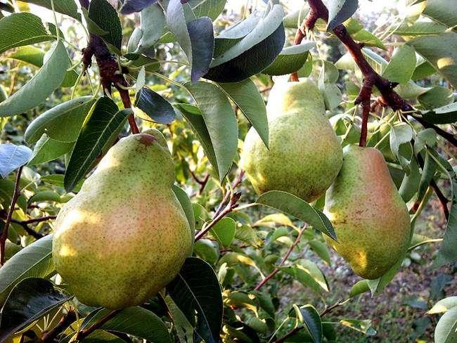 Плоды сорта груш Дюшес летний