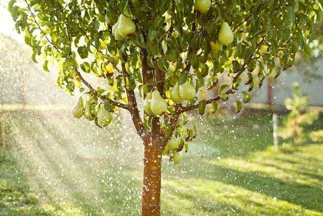 Полив груши Августовская роса