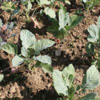 Правила посадки капусты в открытый грунт
