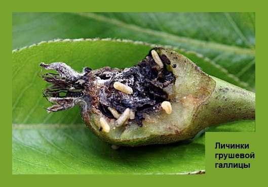 Личинки Грушевой галлицы