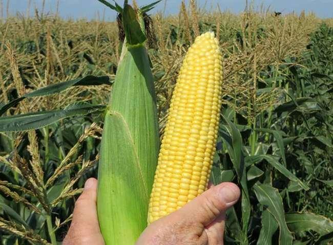Семена сахарной кукурузы Свит наггет f1