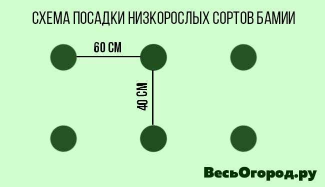 Схема посадки низкорослых сортов Бамии