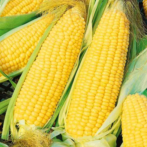 Сладкая кукуруза Хони Бентам