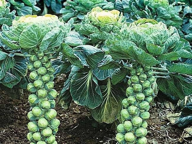 Сорт брюсслеьской капусты Сапфир