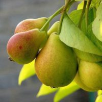 Описание сорта груш Августовская роса, правила посадки и ухода