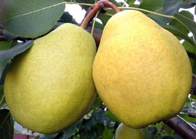 Сорт груши Осенняя сладкая