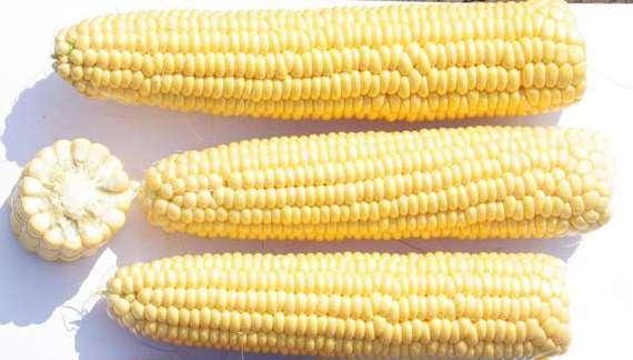 Сорт кукурузы Трофи
