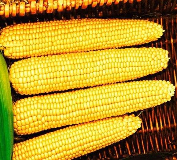 Сорт сахарной кукурузы Мегатон