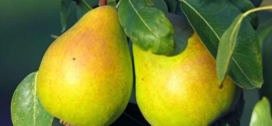 Сорта груш, наиболее популярные у садоводов