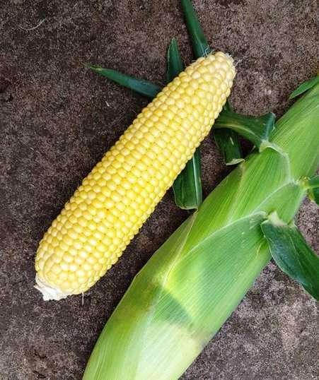 Вальмонд f1 сладкая кукуруза