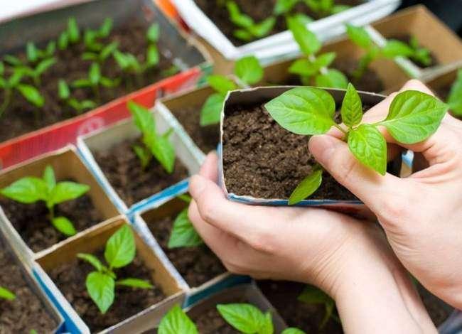 Как выращивать Бамию с помощью рассады